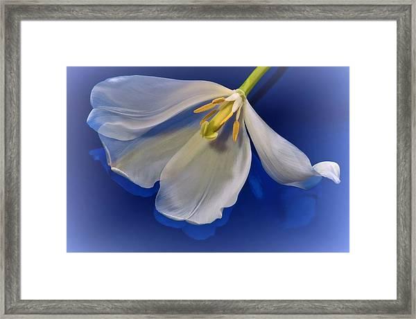 White Tulip On Blue Framed Print