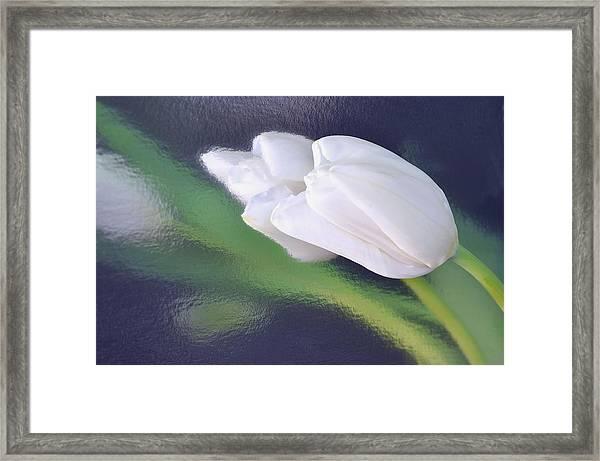 White Tulip Reflected In Dark Blue Water Framed Print
