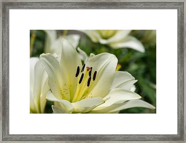 White Velvet - Featured 3 Framed Print
