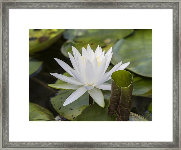 White Water Lily With Curiously Scrolled Leaf Framed Print