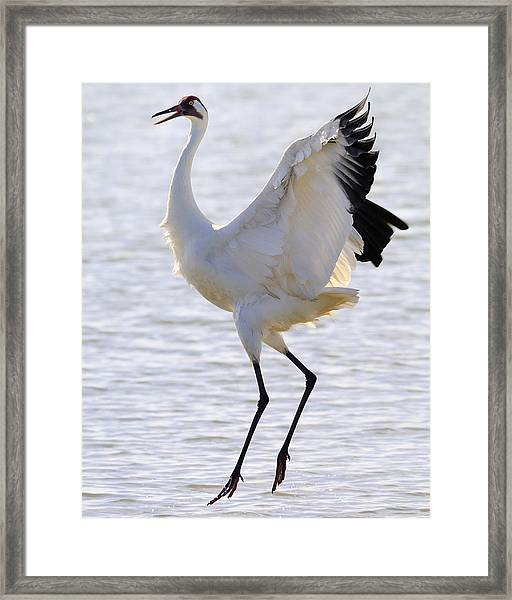 Whooping Crane - Whooping It Up Framed Print