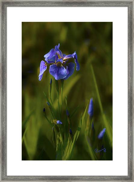 Wild Alaskan Iris Framed Print