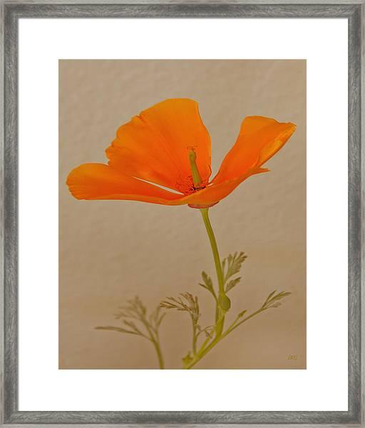 Wild California Poppy No 1 Framed Print