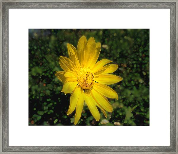 Framed Print featuring the photograph Wild Daisy by David Armstrong