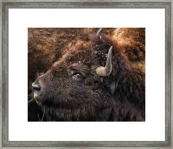 Wild Eye - Bison - Yellowstone Framed Print