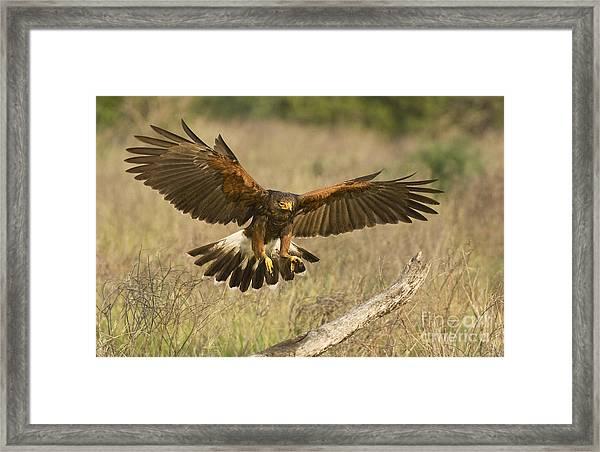 Wild Harris Hawk Landing Framed Print