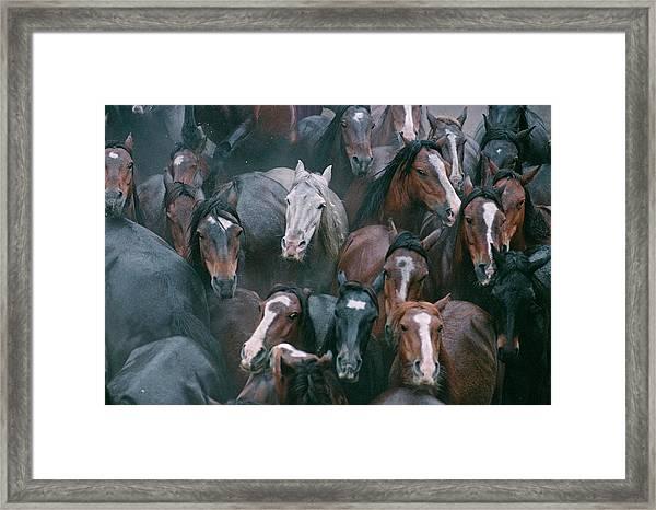 Wild Horses In A Pen Framed Print