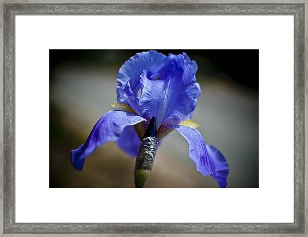 Wild Iris Framed Print