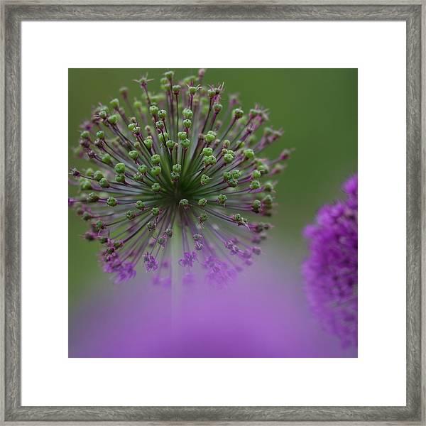 Wild Onion Framed Print