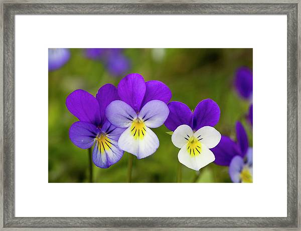 Wild Pansy (viola Tricolor) Framed Print