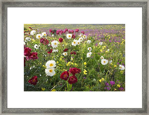Wild Poppies South Texas Framed Print