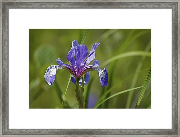 Wild Purple Iris 1 Framed Print