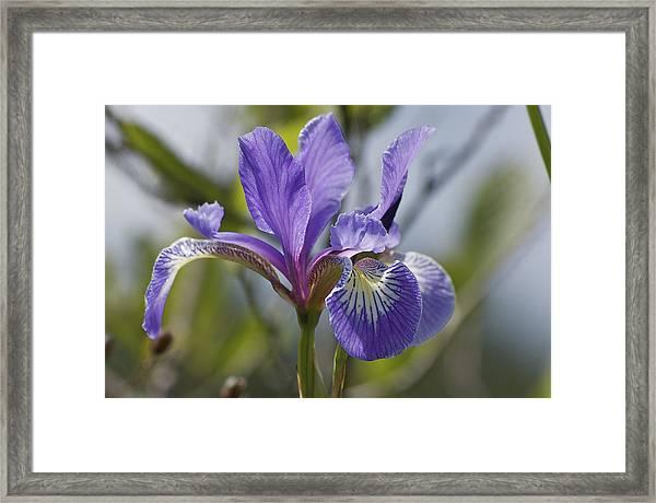Wild Purple Iris Framed Print