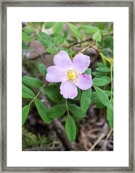 Wild Gentian Framed Print