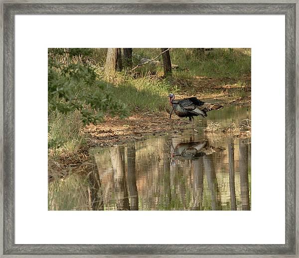 Wild Turkey Crossing Framed Print