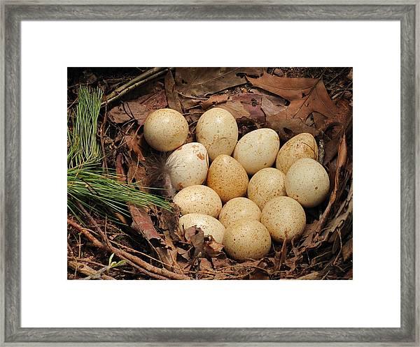 Wild Turkey Eggs In Nest Framed Print