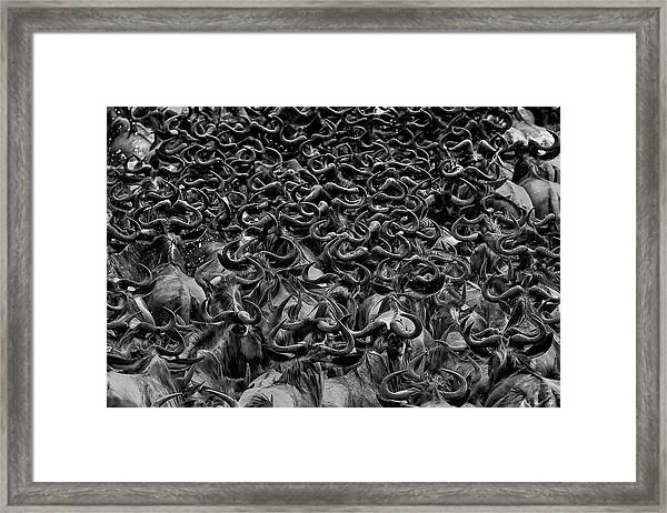 Wildebeest In Crossing Framed Print