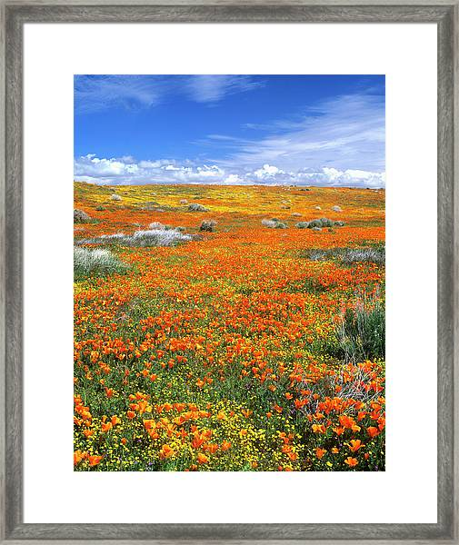 Wildflowers At The California Poppy Framed Print by John Alves