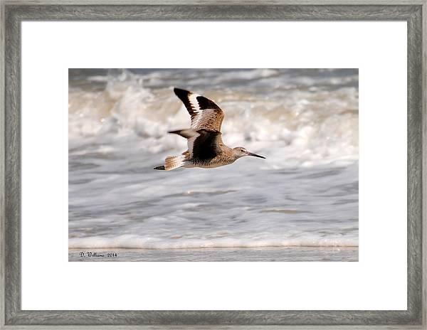 Willet In Flight Framed Print