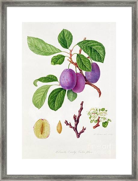 Wilmot's Early Violet Plum Framed Print
