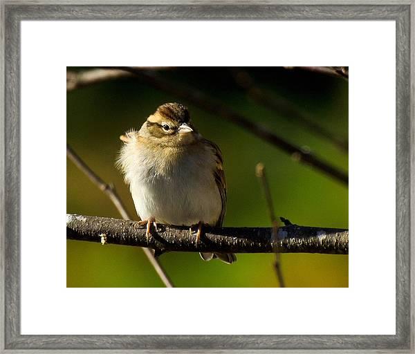 Wind Blown Sparrow Framed Print