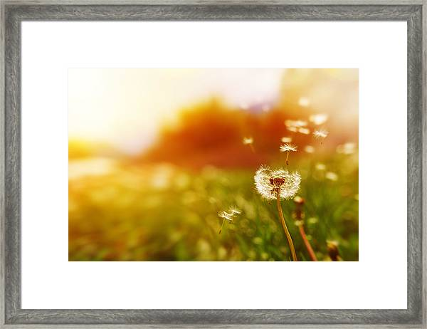 Windy Dandelion In Spring Time Framed Print by Stock_colors