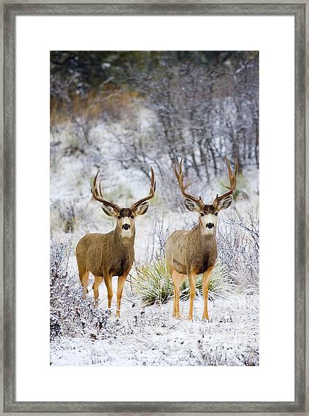 Winter Bucks Framed Print