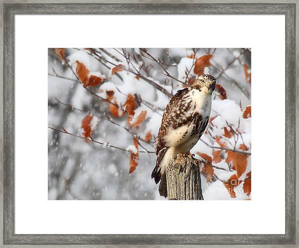 Winter Visitor  Framed Print