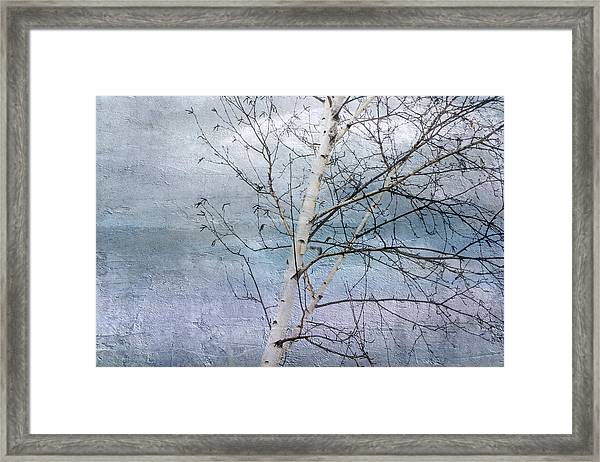 Winter White Birch  Framed Print