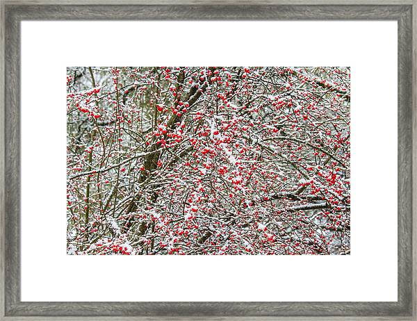 Winterberry During A Snowfall Framed Print