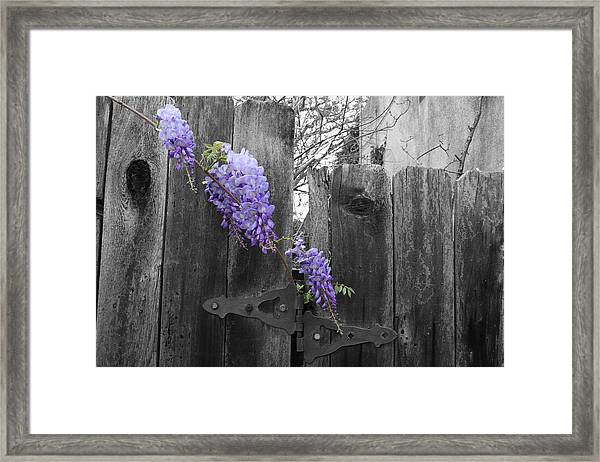 Framed Print featuring the photograph Wisteria by Dylan Punke