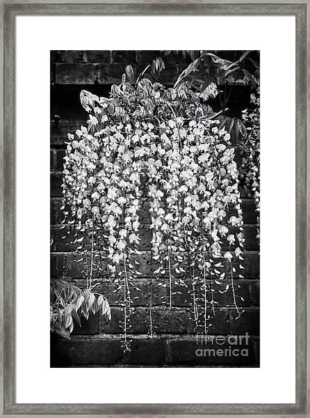 Wisteria Floribunda Kuchi Beni  Framed Print