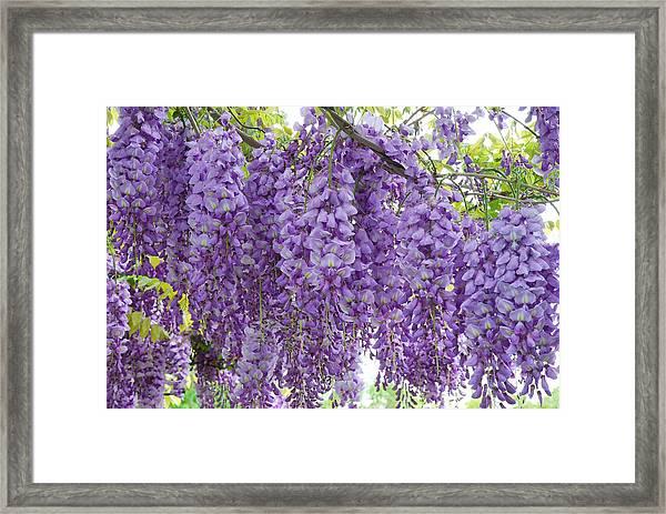 Wisteria Full Bloom Framed Print