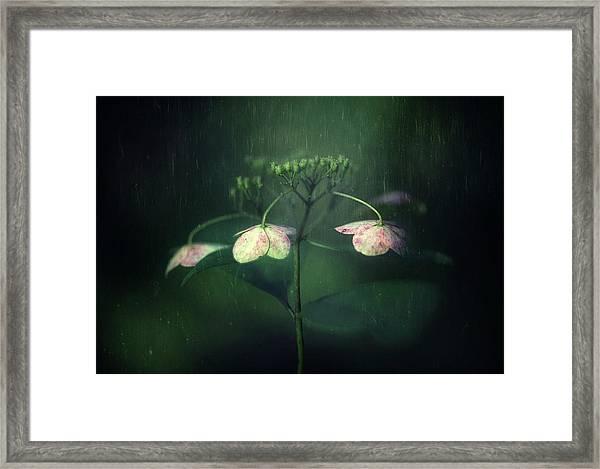 Withe Hydrangea Framed Print by Takashi Suzuki