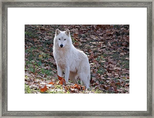Wolf In Autumn Framed Print