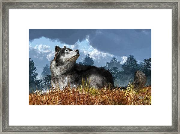 Wolf Resting In Grass Framed Print