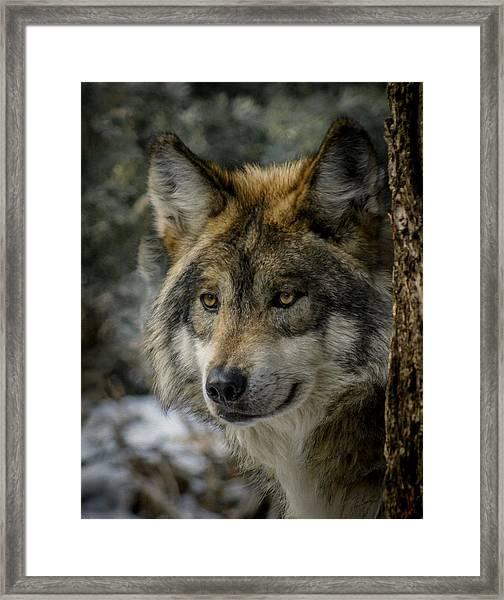 Wolf Upclose 2 Framed Print