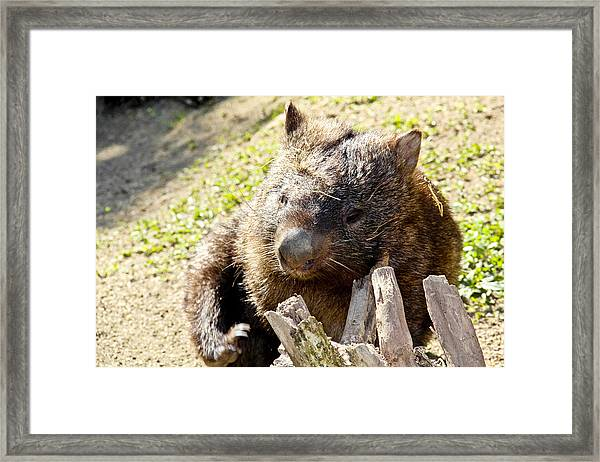 Framed Print featuring the photograph Wombat Scratching by Debbie Cundy