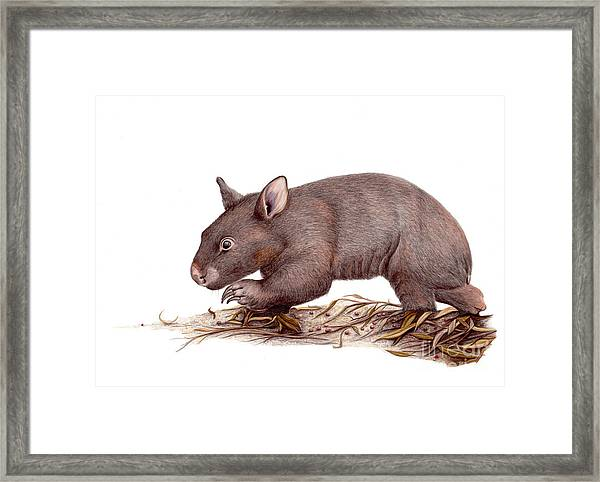 Wombat Walk Framed Print by Susan Pope