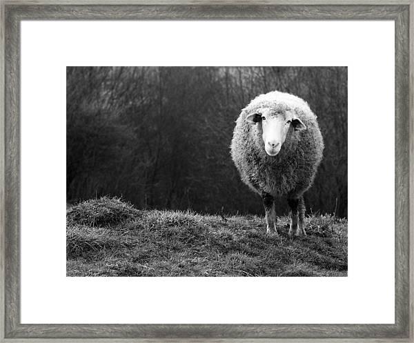Wondering Sheep Framed Print