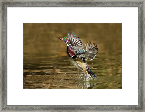 Wood Duck (aix Sponsa Framed Print