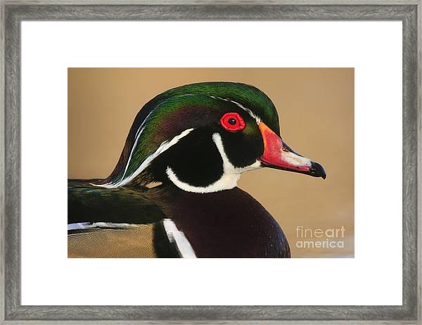 Wood Duck Color Framed Print