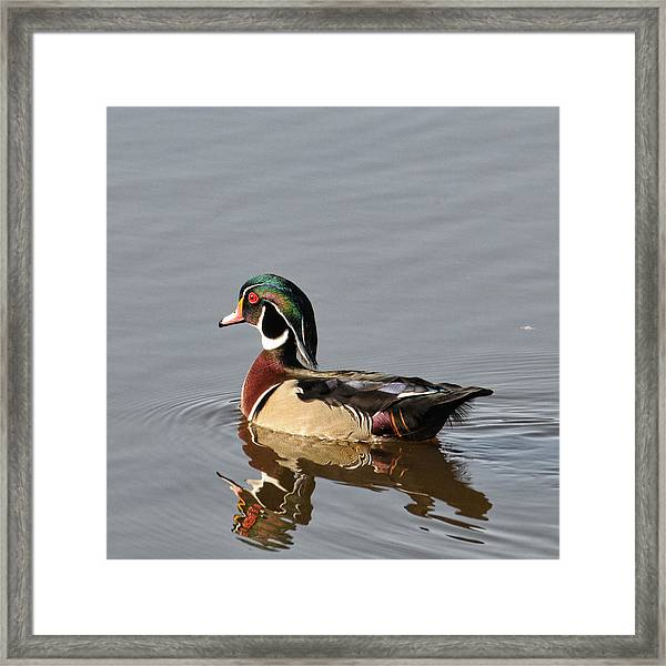 Framed Print featuring the photograph Wood Duck by David Armstrong