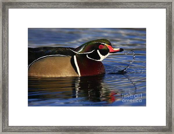 Wood Duck Waterdrops Framed Print