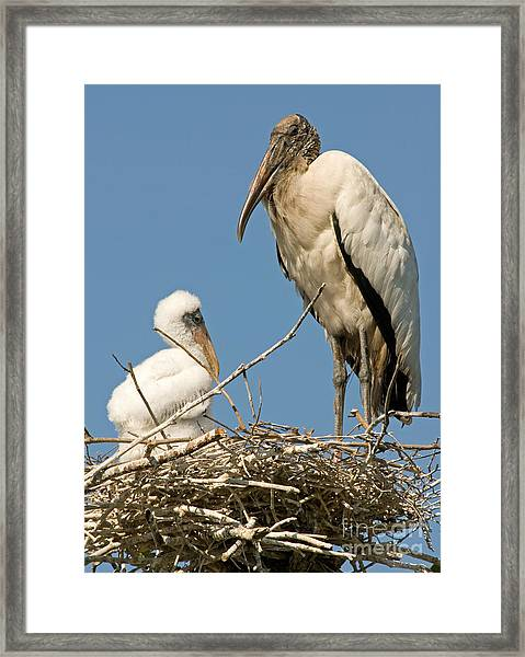 Wood Stork Adult With Chick In Nest Framed Print