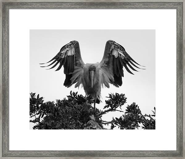 Wood Stork Spread Framed Print