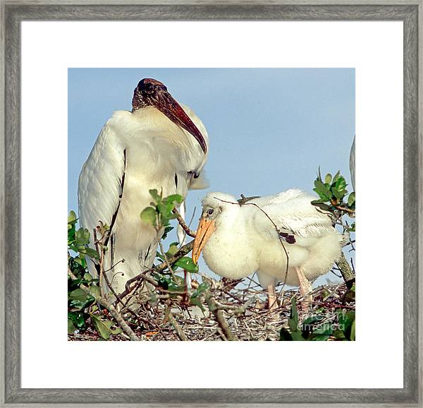 Wood Stork With Chick Framed Print
