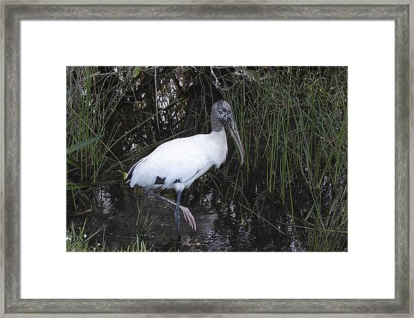 Woodstork Framed Print