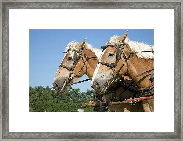 Working Farm Horses Framed Print
