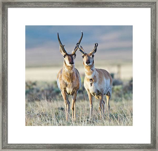 Wyoming, Sublette County, Pronghorn Framed Print